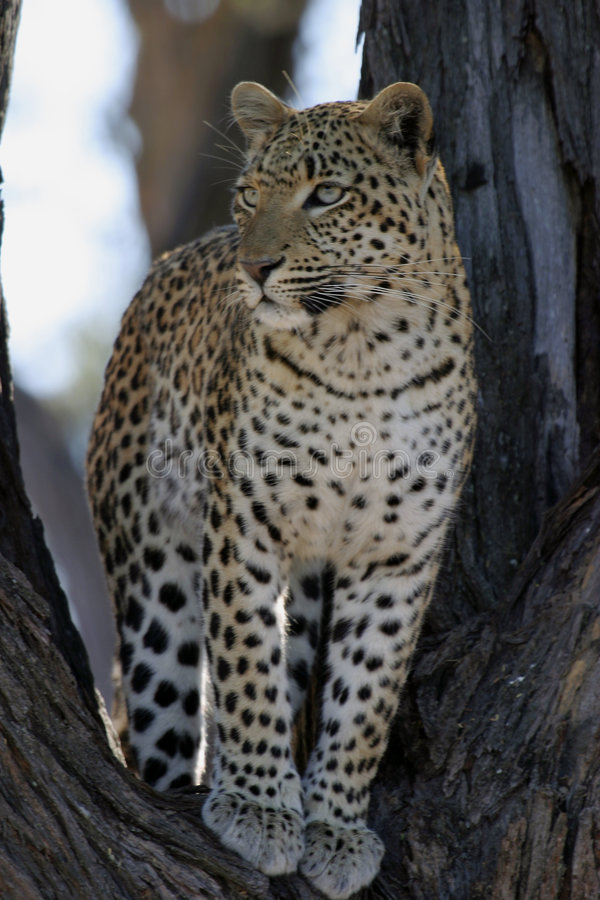 afrikansk leopardtree fotografering för bildbyråer