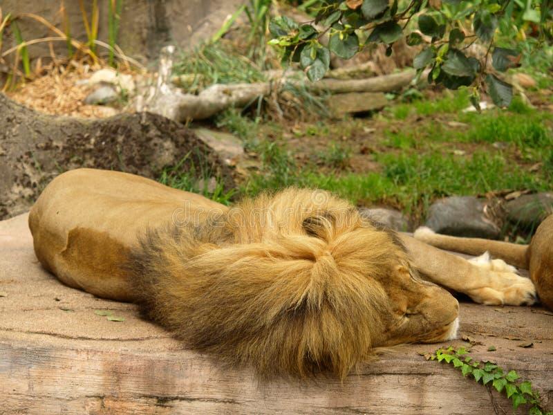 afrikansk lion royaltyfri fotografi