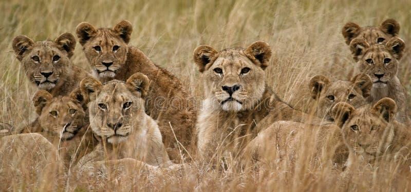 afrikansk lion arkivfoton