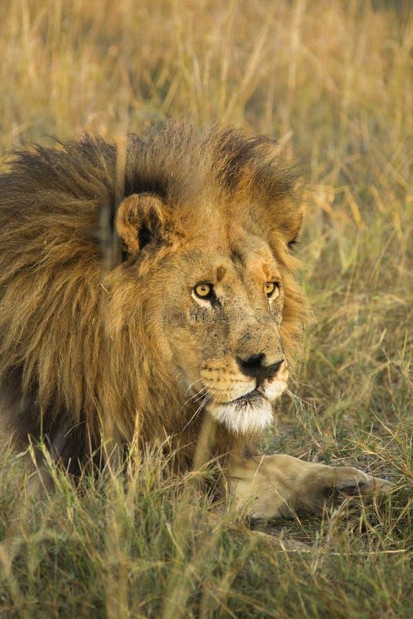 Afrikansk manlig lejonstående fotografering för bildbyråer