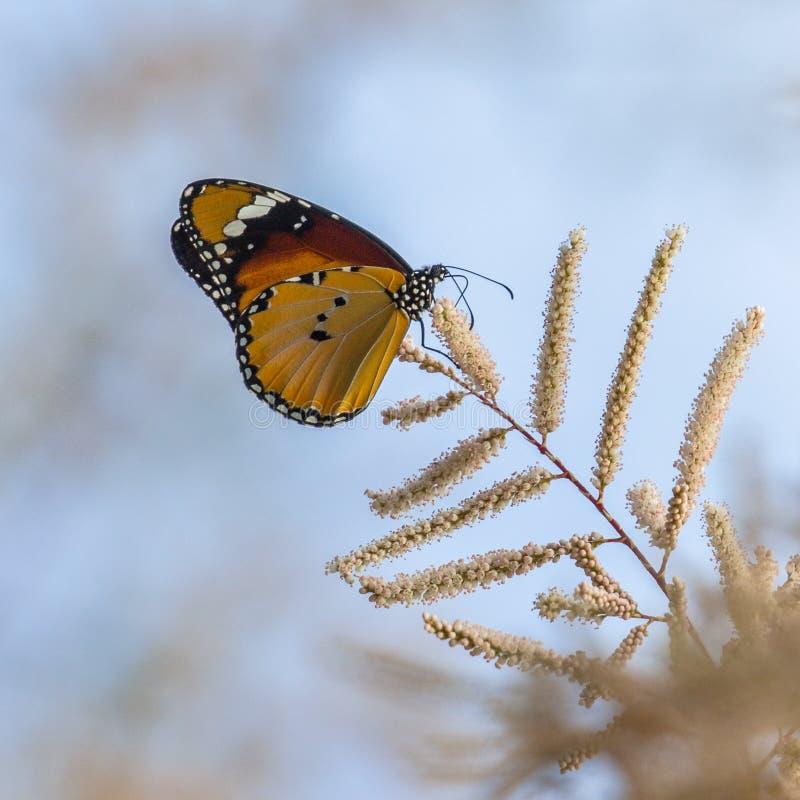 Afrikansk monarkfjäril arkivbild