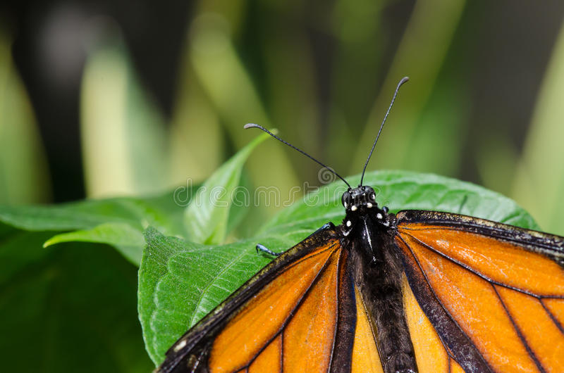 Afrikansk monarkfjäril arkivfoto