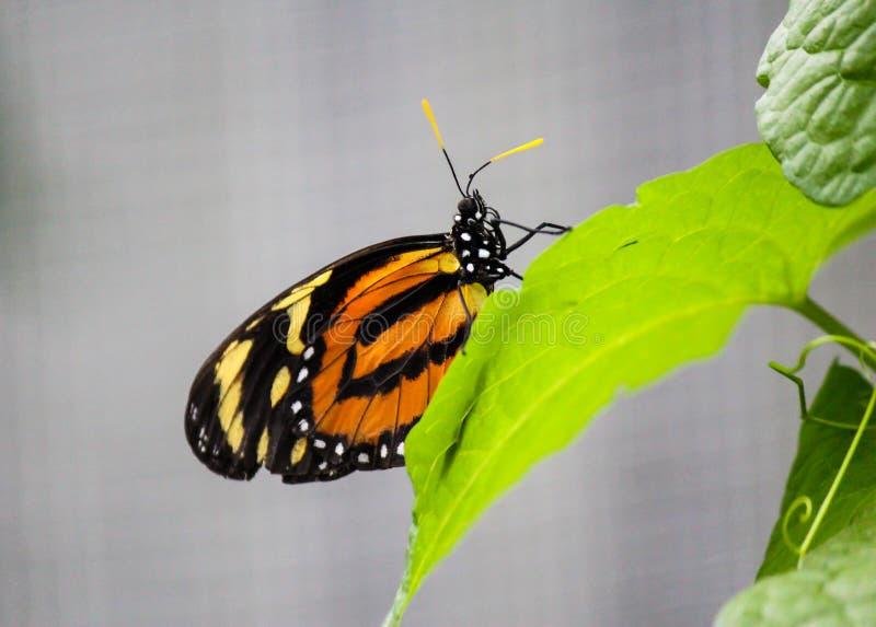 Afrikansk monarkfjäril på ett blad royaltyfri foto