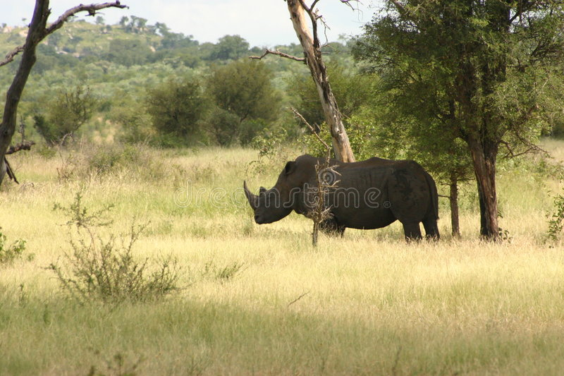 Afrikansk Noshörning Fotografering för Bildbyråer