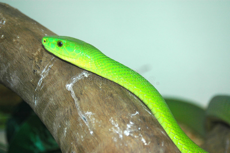 afrikansk orm för grön mamba arkivfoton