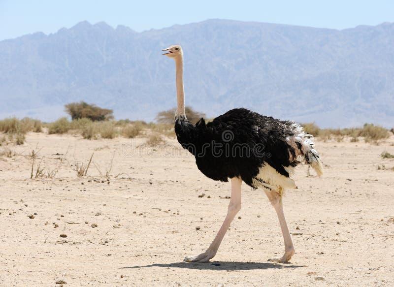 afrikansk ostrich arkivfoto