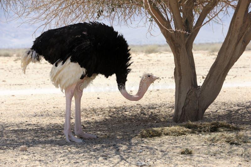 afrikansk ostrich royaltyfria bilder