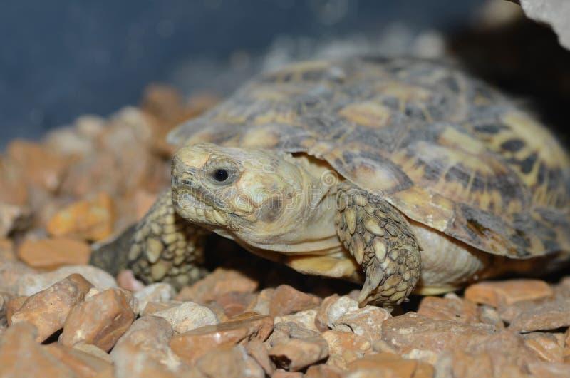 afrikansk pannkakasköldpadda royaltyfria bilder