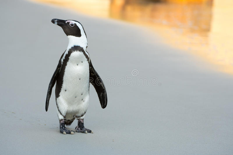 Afrikansk pingvin på stranden royaltyfri foto