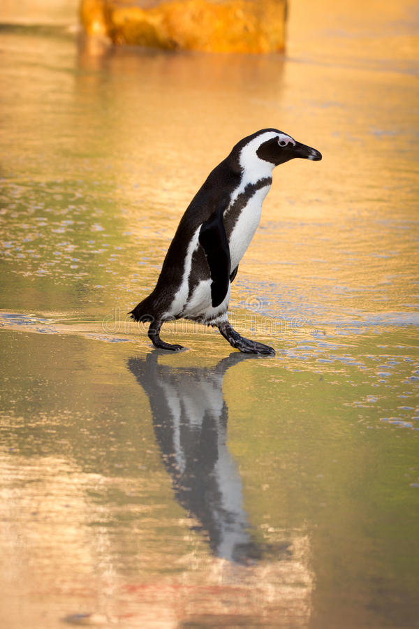 Afrikansk pingvin på stranden arkivbilder