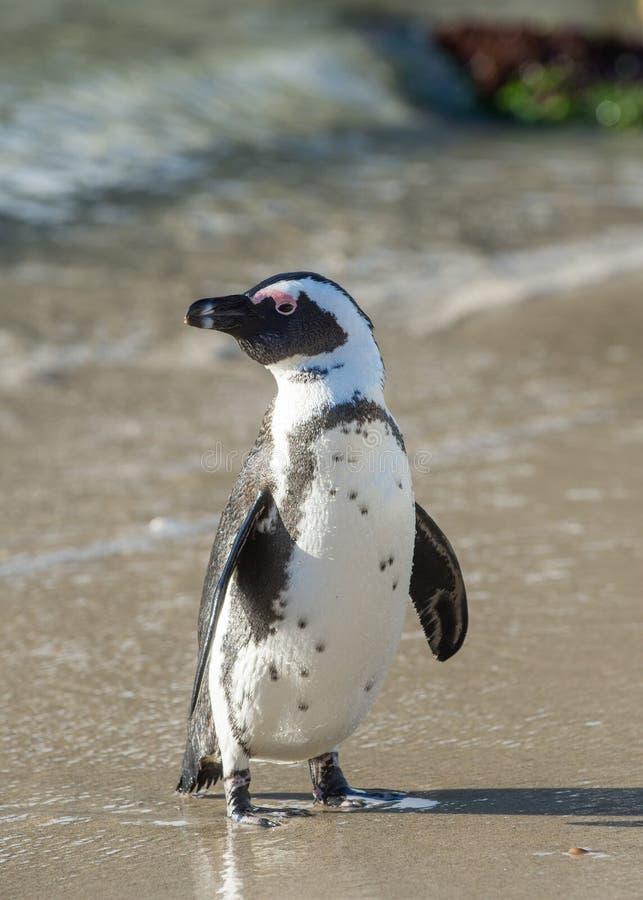 Afrikansk pingvin på stranden royaltyfri fotografi