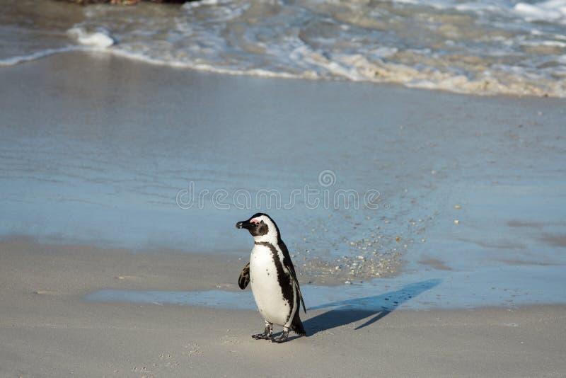 Afrikansk pingvin på stranden arkivbild