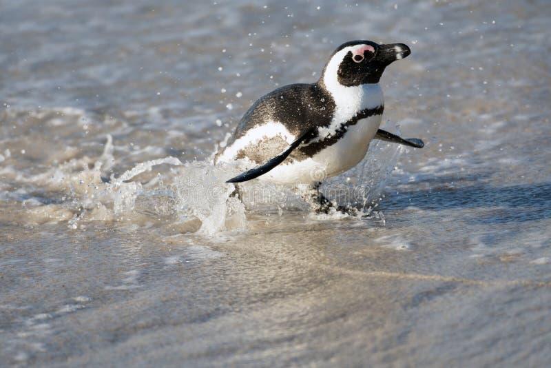 Afrikansk pingvin på stranden fotografering för bildbyråer