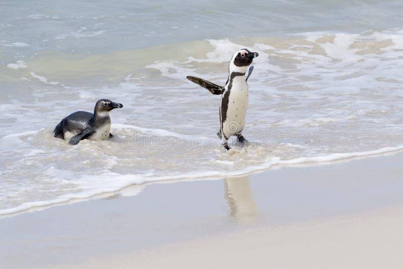 Afrikansk pingvin som ankommer p? stranden arkivbild