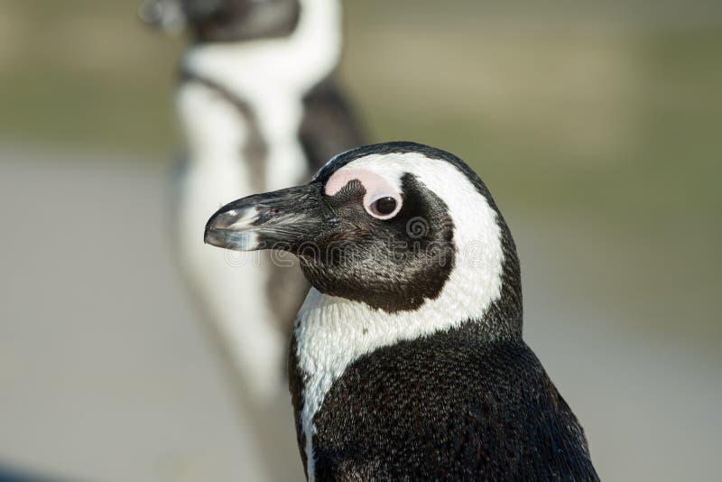 afrikansk pingvinstående royaltyfri bild