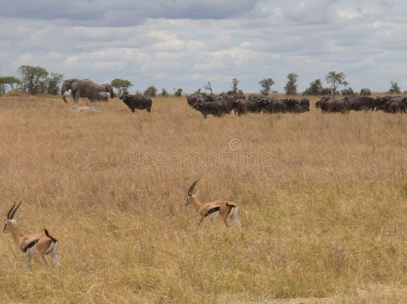 afrikansk safari royaltyfria foton