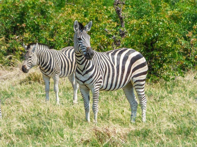 Afrikansk sebra i naturlig livsmiljö royaltyfri foto