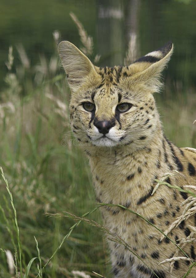 afrikansk serval arkivbild