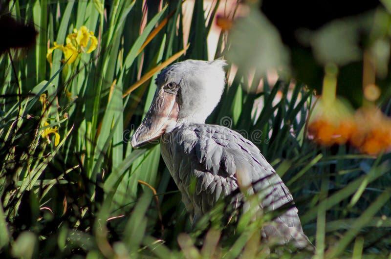 Afrikansk shoebill, val-hövdad stork eller sko-fakturerad stork arkivbilder