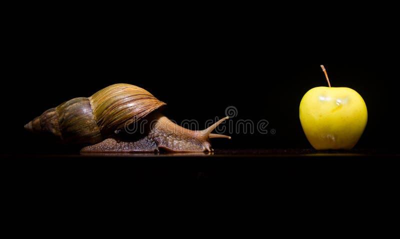 Afrikansk snigel med det stora vita äpplet arkivfoto