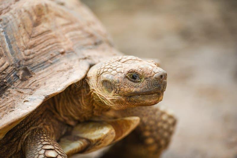 Afrikansk sporrad sköldpadda/slut upp huvudsköldpadda royaltyfria foton