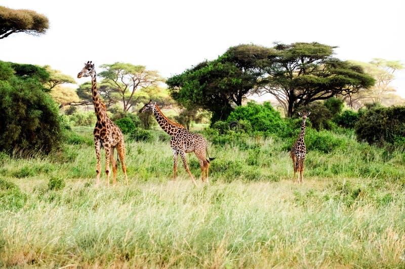 afrikansk stand tre för giraffsafarisavannah royaltyfri bild