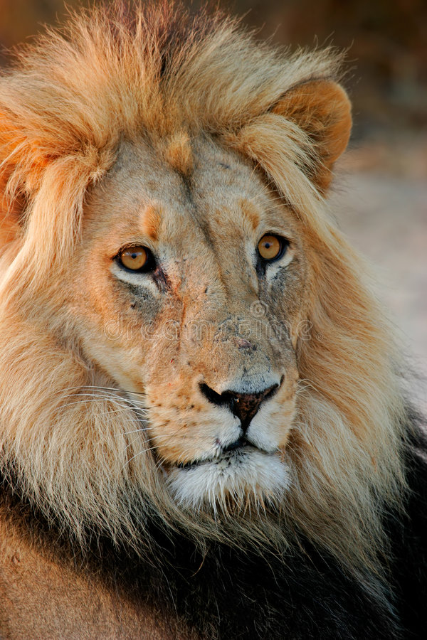 afrikansk stor lionmanlig royaltyfri bild