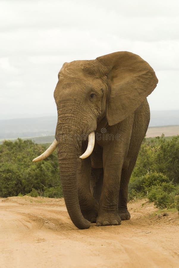 afrikansk stor tjurelefant royaltyfria foton