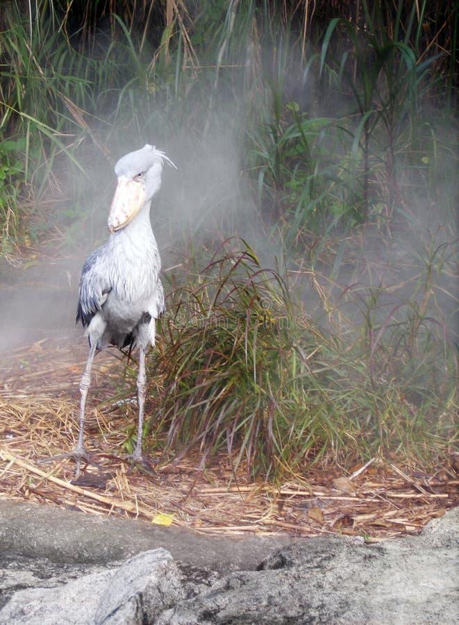 afrikansk stork för shoebill för fågelmistmorgon arkivfoto