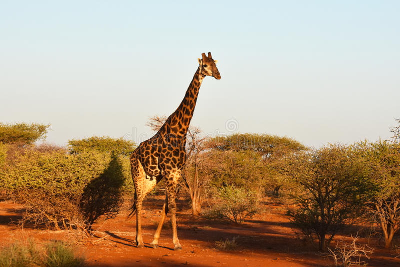 Afrikansk sydlig giraff arkivbilder