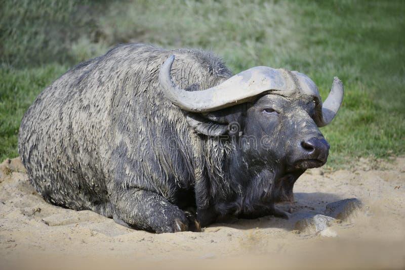 Afrikansk udde Buffaloe fotografering för bildbyråer