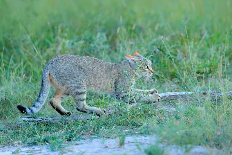Afrikansk vildkatt, Felislybica, kallade också Near Östlig den lösa katten Löst djur i naturlivsmiljön, gräsäng, Nxai Pan Nationa royaltyfria bilder