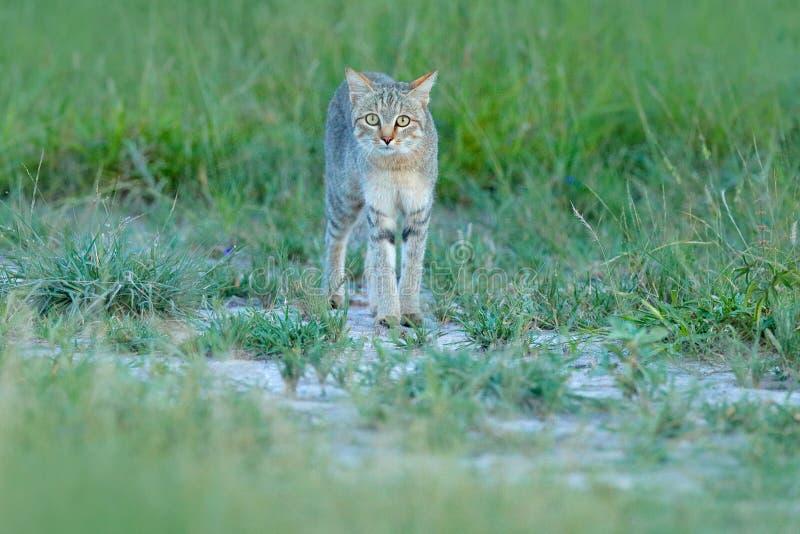 Afrikansk vildkatt, Felislybica, kallade också Near Östlig den lösa katten Löst djur i naturlivsmiljön, gräsäng, Nxai Pan Nationa royaltyfri bild
