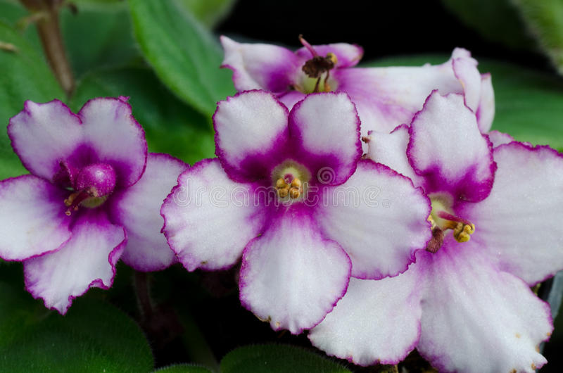 Afrikansk violet royaltyfria foton
