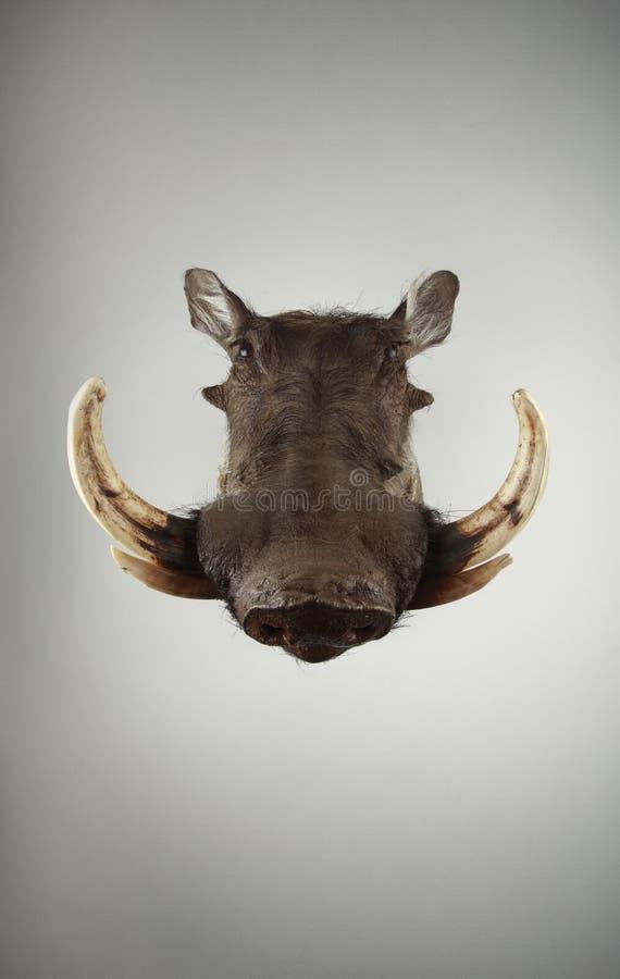 afrikansk warthog royaltyfria foton