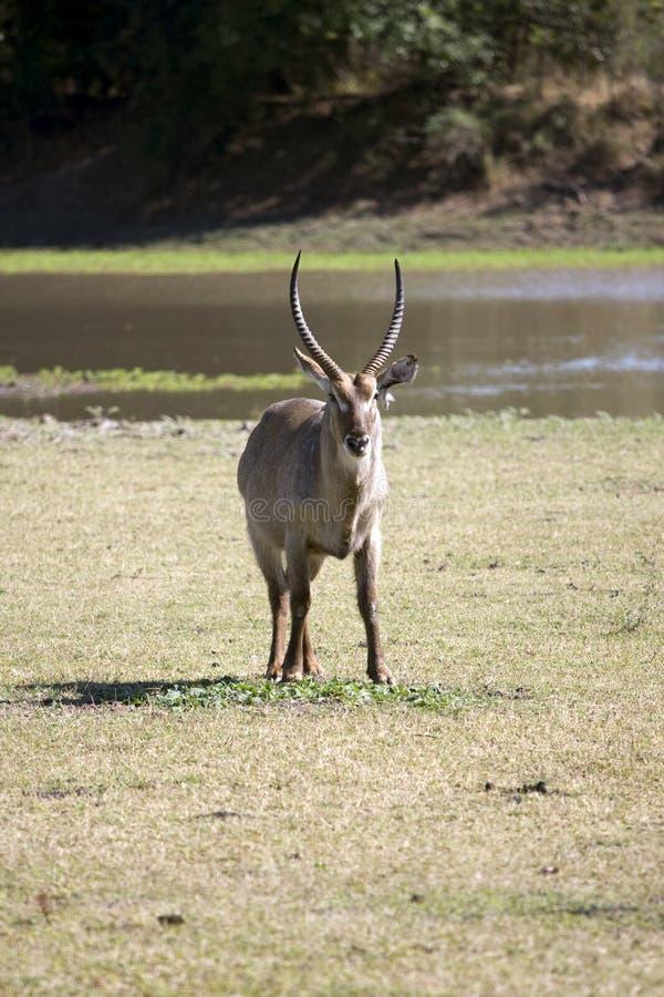 afrikansk waterbuck royaltyfri foto