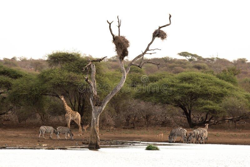 afrikansk waterhole royaltyfri bild