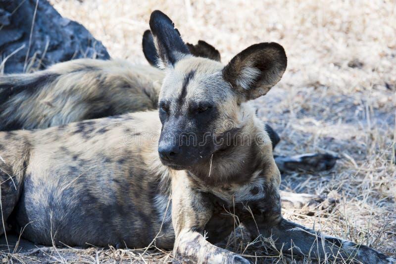 Afrikansk wild hund - wild hund - kritiskt endangere royaltyfri bild