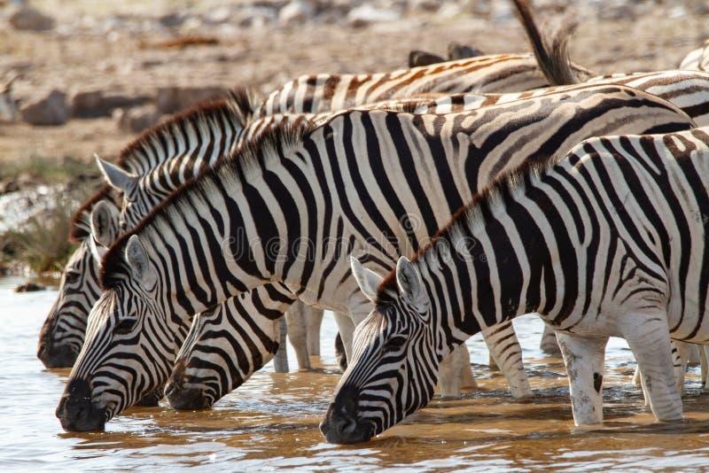 Afrikanska däggdjurs- sebraöknar och natur i nationalparker royaltyfri bild