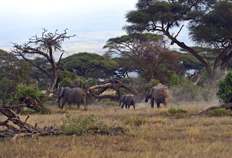 Afrikanska elefanter arkivfoto