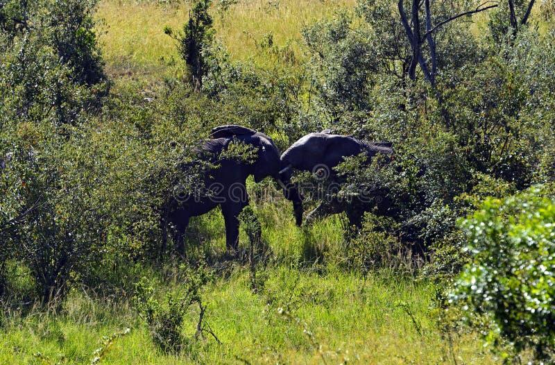 Afrikanska elefanter royaltyfri fotografi