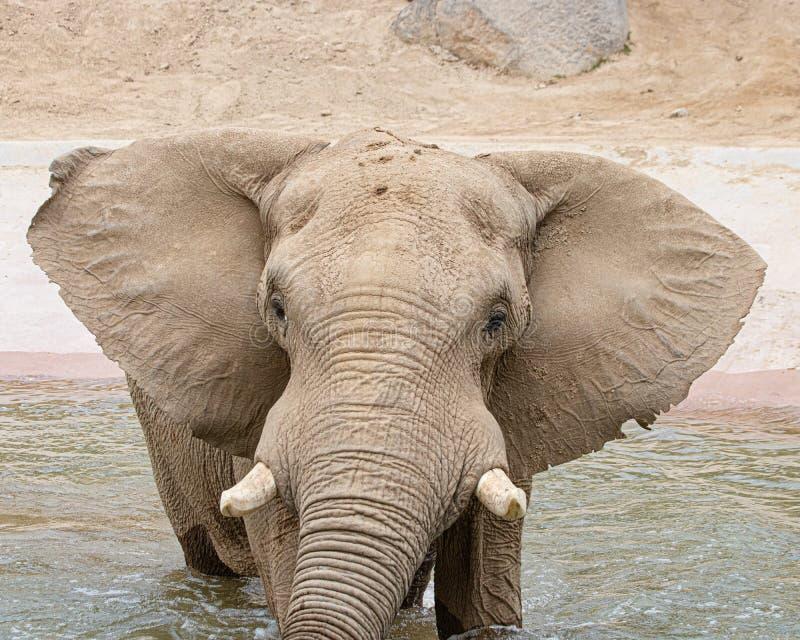 Afrikanska elefanter, enkel manlig tjurelefant i waterhole som ser kameran arkivbild