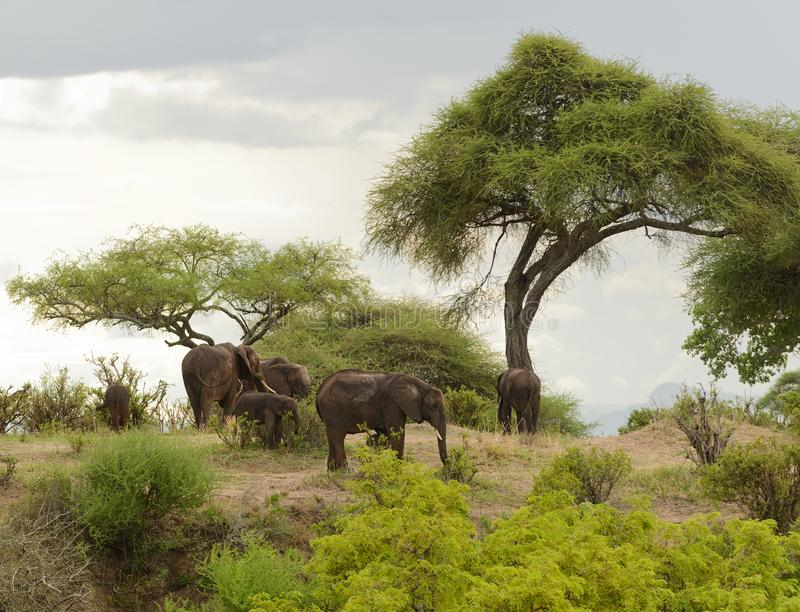 Afrikanska elefanter i den Tarangire nationalparken arkivfoton