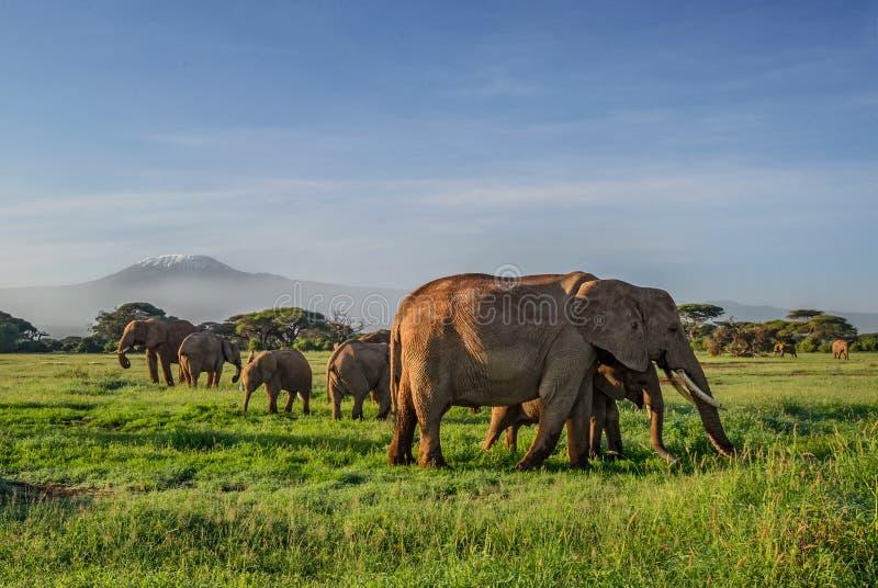 Afrikanska elefanter med Kilimanjaro fotografering för bildbyråer