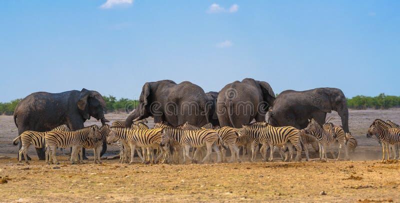 Afrikanska elefanter och sebror på en waterhole i den Etosha nationalparken, Namibia fotografering för bildbyråer