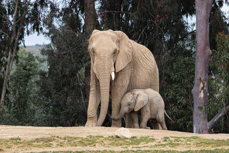 Afrikanska elefanter, snällt älska mjukt förhållande, moder och barn, gulligt mycket litet behandla som ett barn följande moder f royaltyfri bild