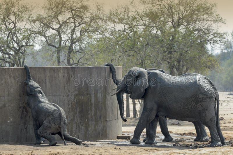 Afrikanska elefanter som dricker från vattenbehållaren arkivbild