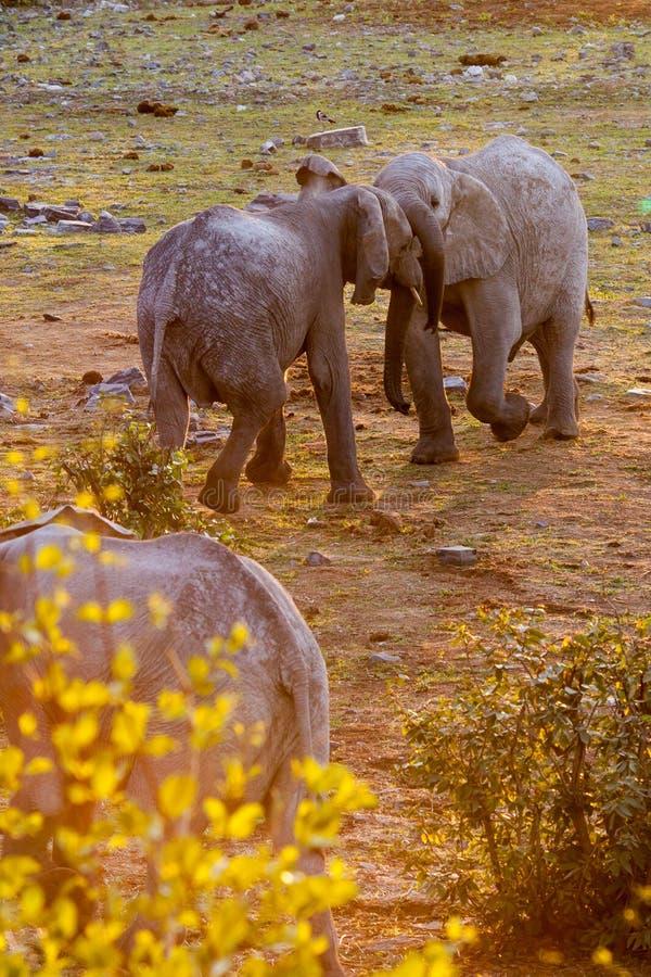 Afrikanska elefanter som slåss i solnedgång, Etosha nationalpark, Namibia arkivbild