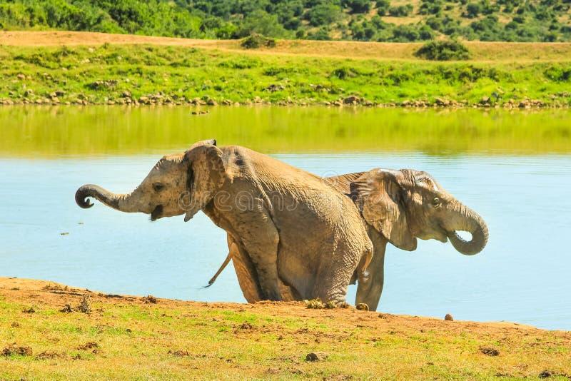 Afrikanska elefanter Sydafrika royaltyfria bilder