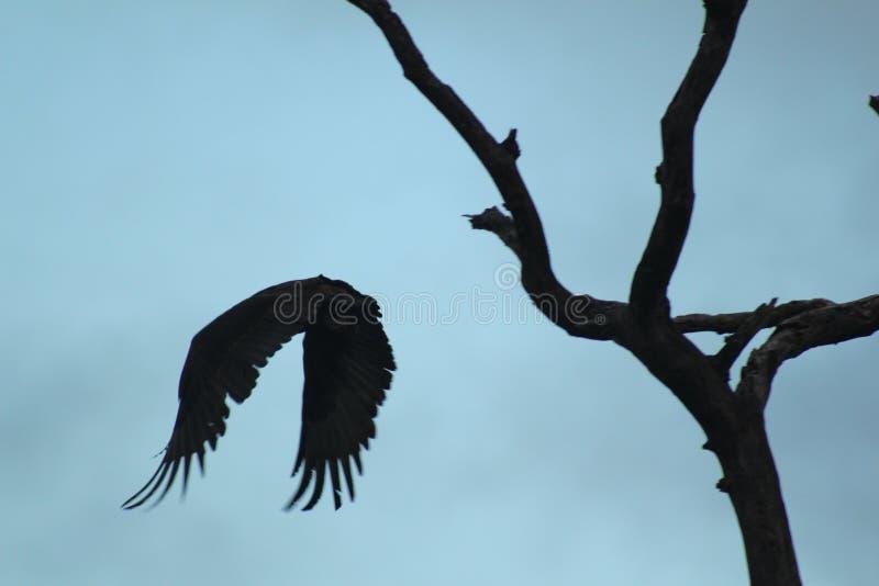 Afrikanska fåglar - Bateleur Eagle - Kruger nationalpark royaltyfria bilder